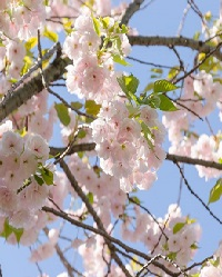 08. A Flowering Cherry Tree